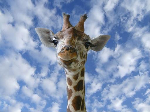 girafe sur ciel