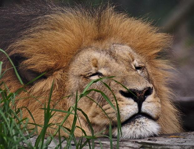 lion dort-2-light-2